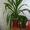 Пальма нецветущая #120574