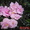 Узамбарские фиалки (сенполии) #523524