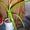 Лук индийский (птицемлечник хвостатый)    #772795
