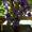 Ирис,  луковицы,  #1271985