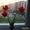 Продаю тюльпаны,  луковицы #1271986