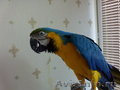 продажа попугая сине-жёлтый ара