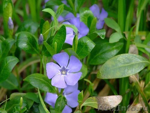 Цветы покровники