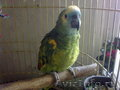 Попугай синелобый амазон ручной