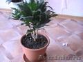Комнатные растения, горшки для комнатных растений - Изображение #2, Объявление #731408