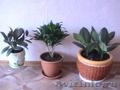Комнатные растения, горшки для комнатных растений - Изображение #4, Объявление #731408