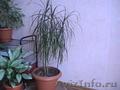 Комнатные растения, горшки для комнатных растений - Изображение #3, Объявление #731408