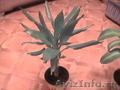 Комнатные растения, горшки для комнатных растений - Изображение #5, Объявление #731408