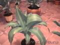 Комнатные растения, горшки для комнатных растений - Изображение #6, Объявление #731408