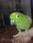 Попугай мельничный амазон