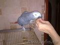 попугай жако краснохвостый продам