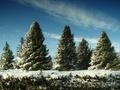 Продам живые новогодние елки,  опт и роница!