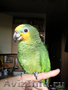 Попугай венесуэльский амазон ручной