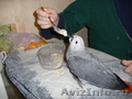 Окольцованые ручные птенцы жако алохвостого   3-4 месяца из питомника .
