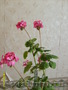 Герань, цвета  красный, розовый - Изображение #2, Объявление #1234561