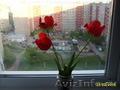 Продаю тюльпаны, луковицы, Объявление #1271986